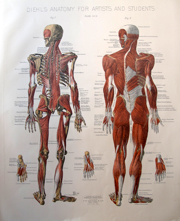 Human Anatomy Figure Drawing Diehls Anatomy For Artists And