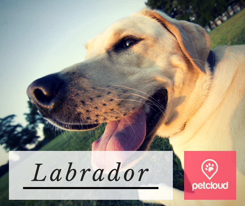 Puppy Profile Labrador Retriever Petcloud Dog Lovers Breed Of The Month Sydney Brisbane Melbourne Australia Labs Labrad Labrador Retriever Labrador Labrador Puppy Training