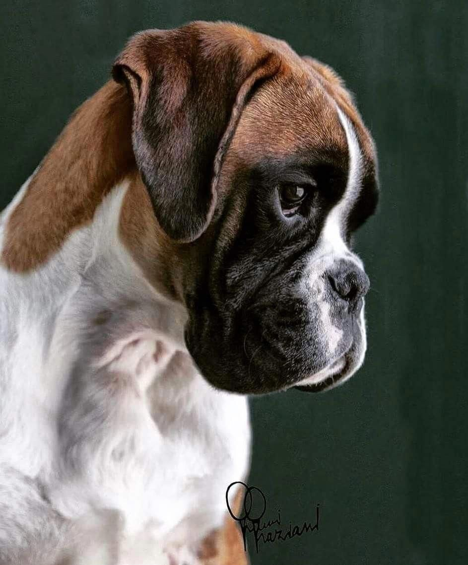 The many things we all admire about the FunLoving Boxer