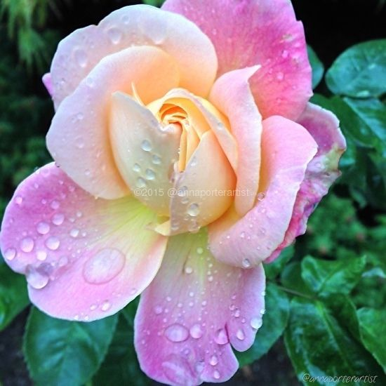 Precious, pink rose and raindrops from Anna's Gardens by Anna Porter  ~ 20 x 20