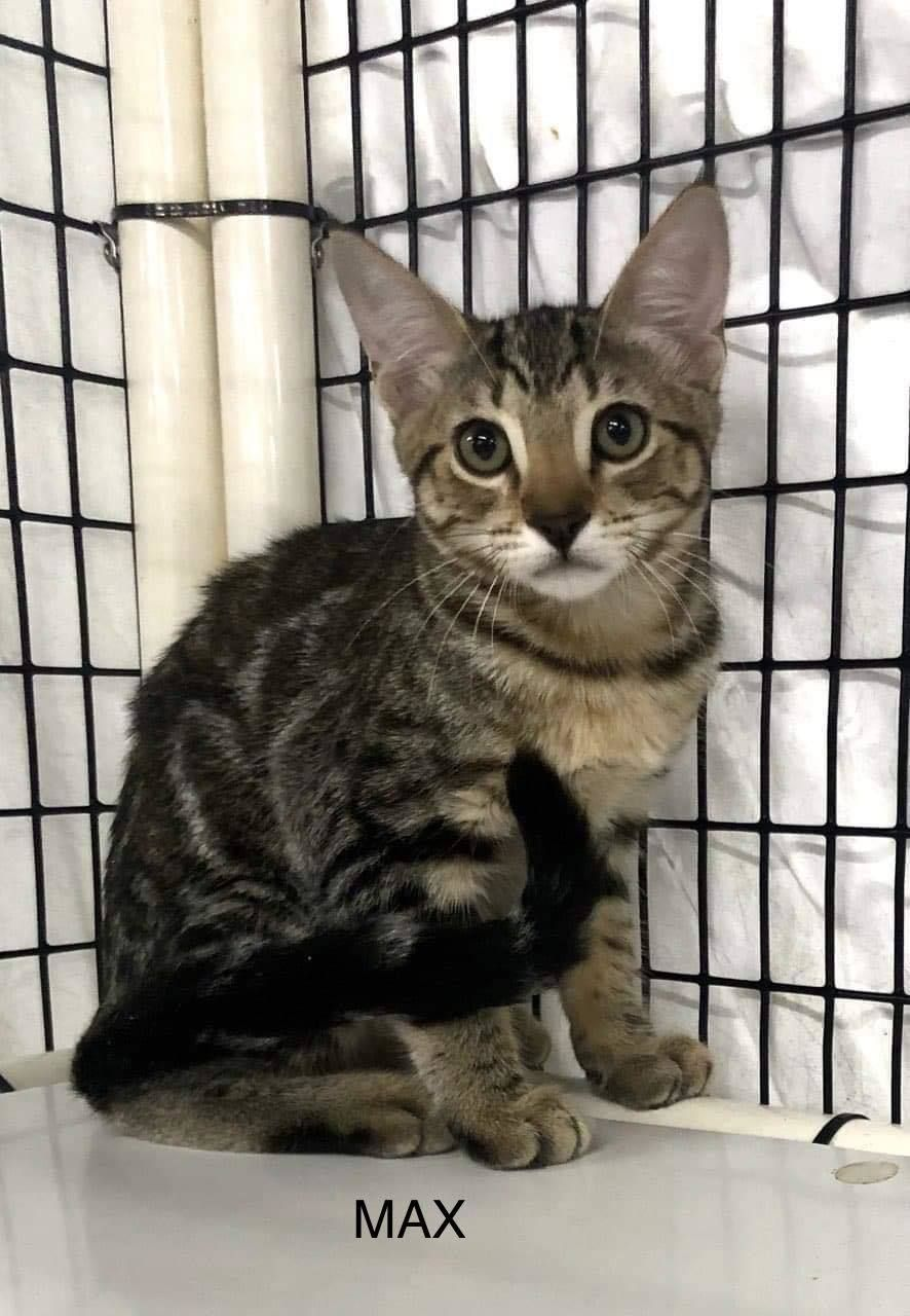 Adopt Max On Petfinder In 2020 Cat Adoption Dog Adoption Rescue Dogs
