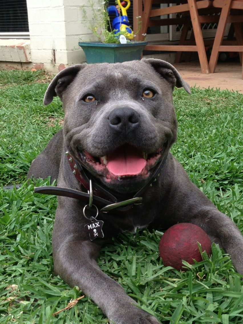 Pin Von Unshackled Pit Auf Beautiful Creatures Schone Hunde Hunde Staffordshirebullterrier