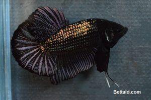 98+ Gambar Ikan Cupang Giant Gratis