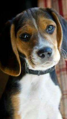 Pin By Tammy Dunn On Beaglemania Beagle Puppy Beagle Cute Beagles
