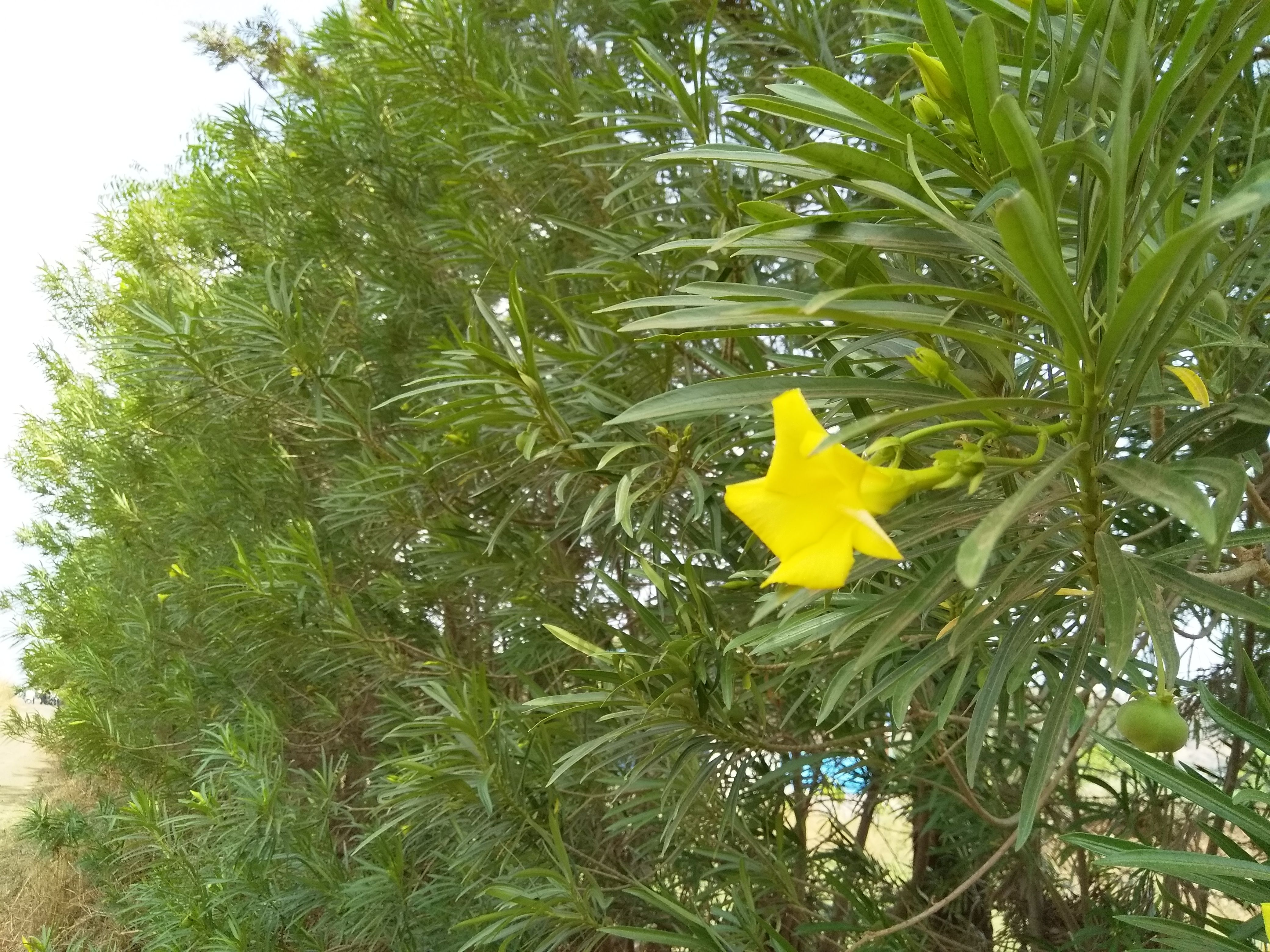 Yellow Oleander Botanical Name Cascabela Thevetica Type Flower Other Name Sanskrit India Karavirah Hindi India कन Fruit Flowers Plants Flowers