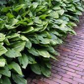 Funkia/Hartlelie (Hosta 'Fortunei Hyacinthina')