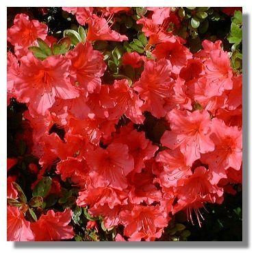 Azaleas Azaleas Event Flowers Flowers