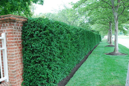 Five Star Hedge Performer The Hicksii Yew Commonly Shortened To Hicks Yew Fulfills Multiple Uses In The Garden Garden Hedges Privacy Landscaping Hedges