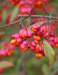 Spindle Tree Beautiful Unique Pink Orange Berries In Fall