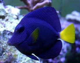 Red Sea Purple Tang I Have One Of These Ocean Creatures Fish Salt Water Fish