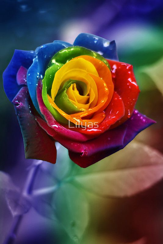 Photomanipulation Of A Red Rose Inspired By Happy Roses From