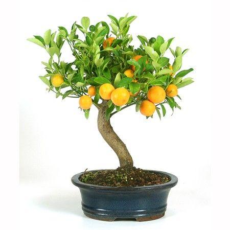 citrus bonsai bonsai pinterest bonsa s et ficus. Black Bedroom Furniture Sets. Home Design Ideas