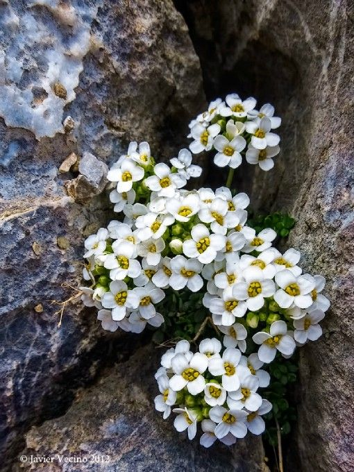 Pritzelago Alpina Photo By Photographer Javier Vecino Wonderful Flowers Alpine Flowers Rock Flowers