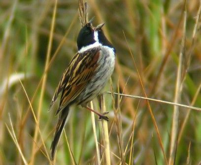 Reed Bunting Of The Uk And Ireland The Reed Bunting May Be Found In Any Reed Bed In The Uk And Birds Beautiful Birds Game Birds