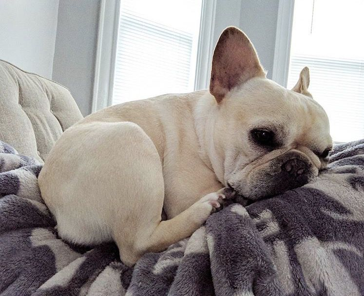French Bulldog Sweet Sassy And Furry French Bulldog French