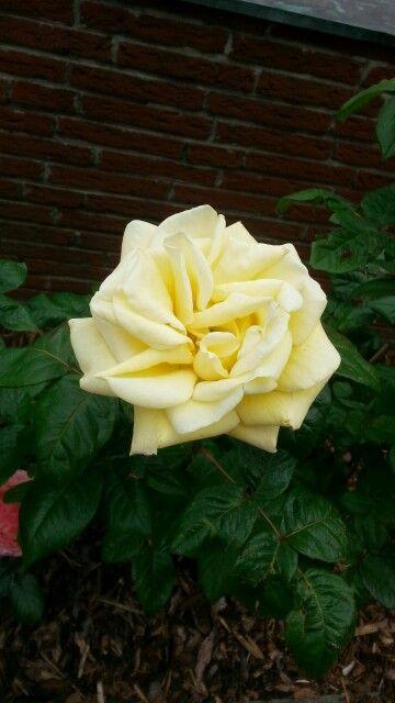 Rose-Gelb.