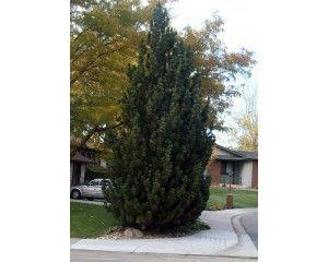 Columnar Mugo Pine Pinus Mugo Quot Fastigata Quot Gardening