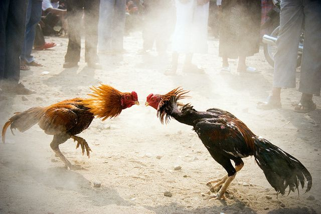 Cockfighting is CRUEL!!!  This fight in Yogyakarta, Indonesia was an animal friendly fight: no knives or fight until dead. Just an encounter on the market, showing who's the boss.