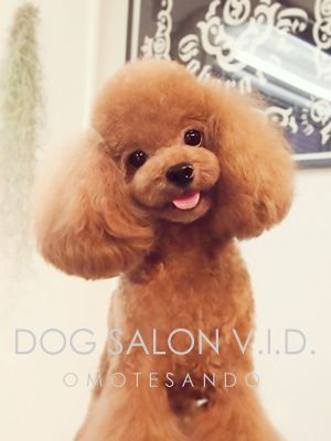 Pu Chin Jpg 300 400 Pixels Poodle Puppy Cute Dogs And Puppies