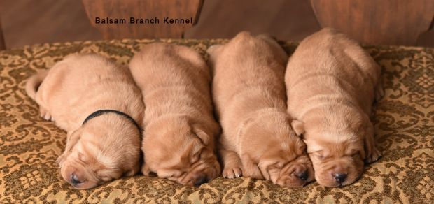 Teaka Red Bull S Puppies Two Weeks Old Puppies