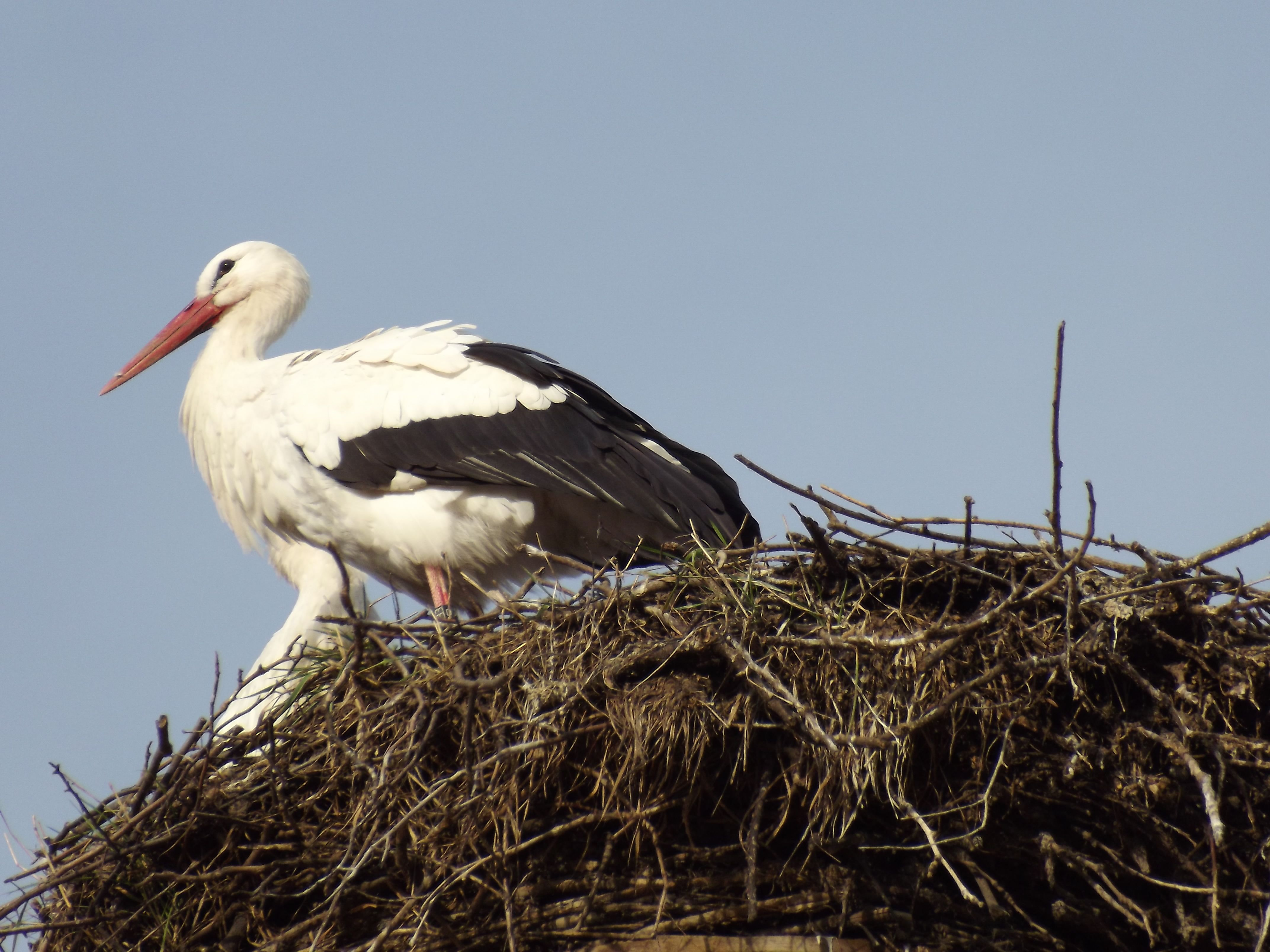 Cigogne à Gengenbach (Allemagne) - Stork in Gengenbach  Germany - Storch im Gengenbach