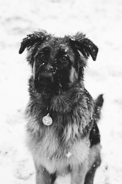 German shepherd puppy kenzo u vík pinterest german shepherd