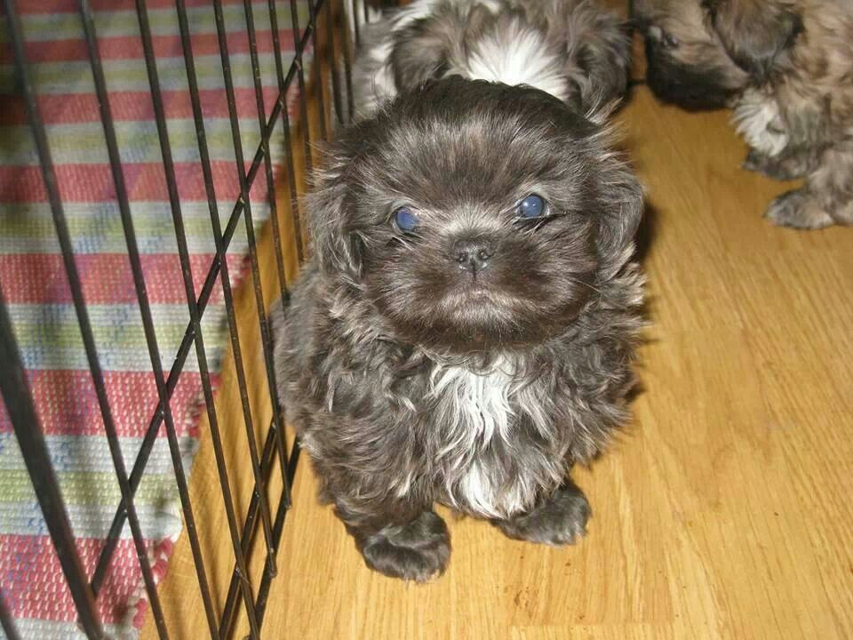 Blue Shihtzu Shih Tzu Shih Tzu Dog Cute Small Dogs