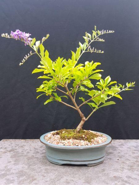 Bonsai Geisha Girl Duranta Plants Gumtree Australia North Sydney Area Cremorne 1134938028 Plants Bonsai Geisha Girl