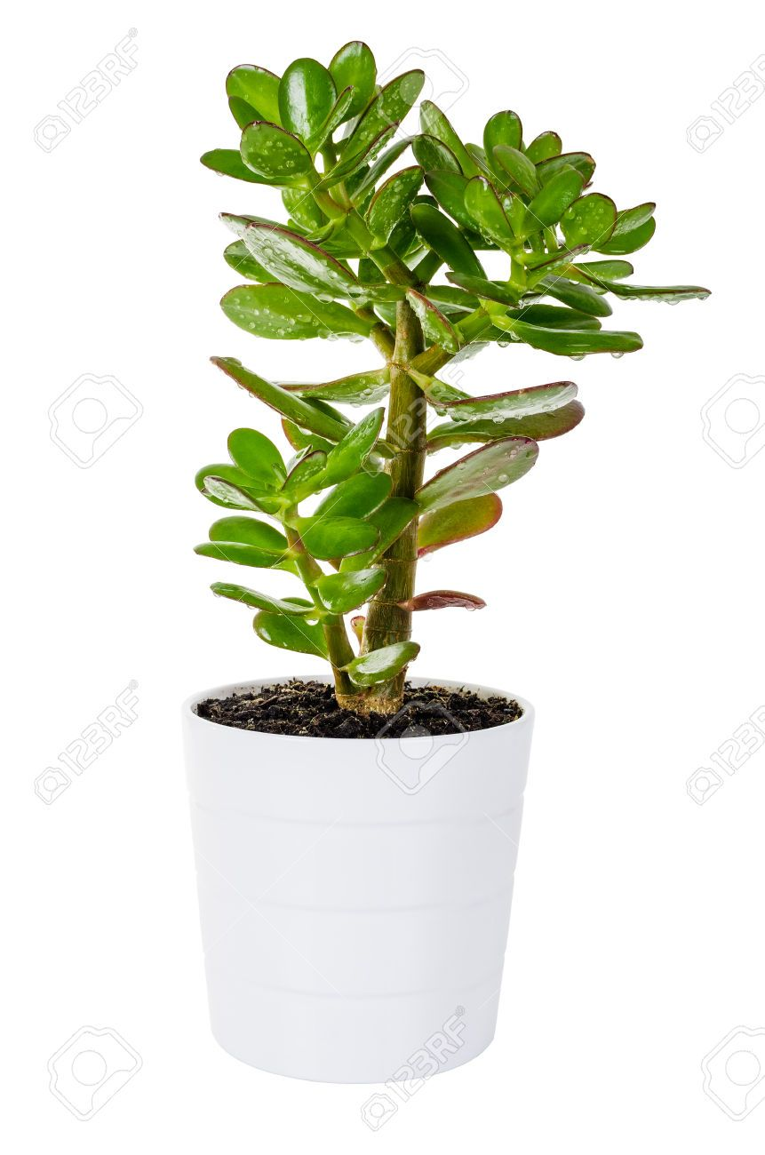 27641196-green-plant-crassula-or-money-tree-in-a-white-flower-pot