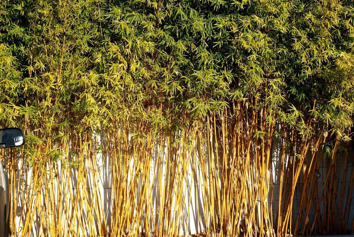 Golden goddess bamboo   Courtyard   Pinterest