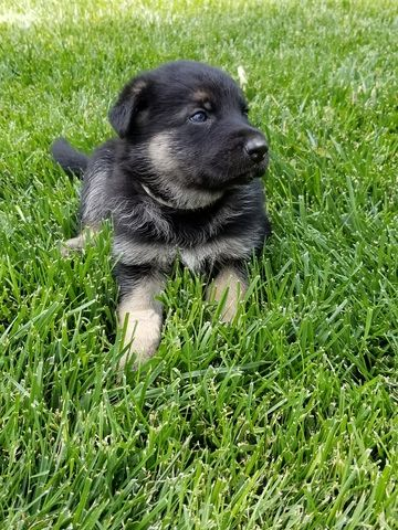 Litter Of 8 German Shepherd Dog Puppies For Sale In Borger Tx