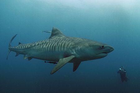 Female Tiger Shark - South Africa   Dr  Teeth   Shark