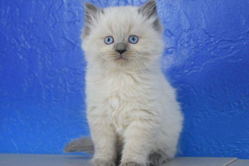 Jolly Blue Point Male Ragamuffin Kitten Ragamuffin