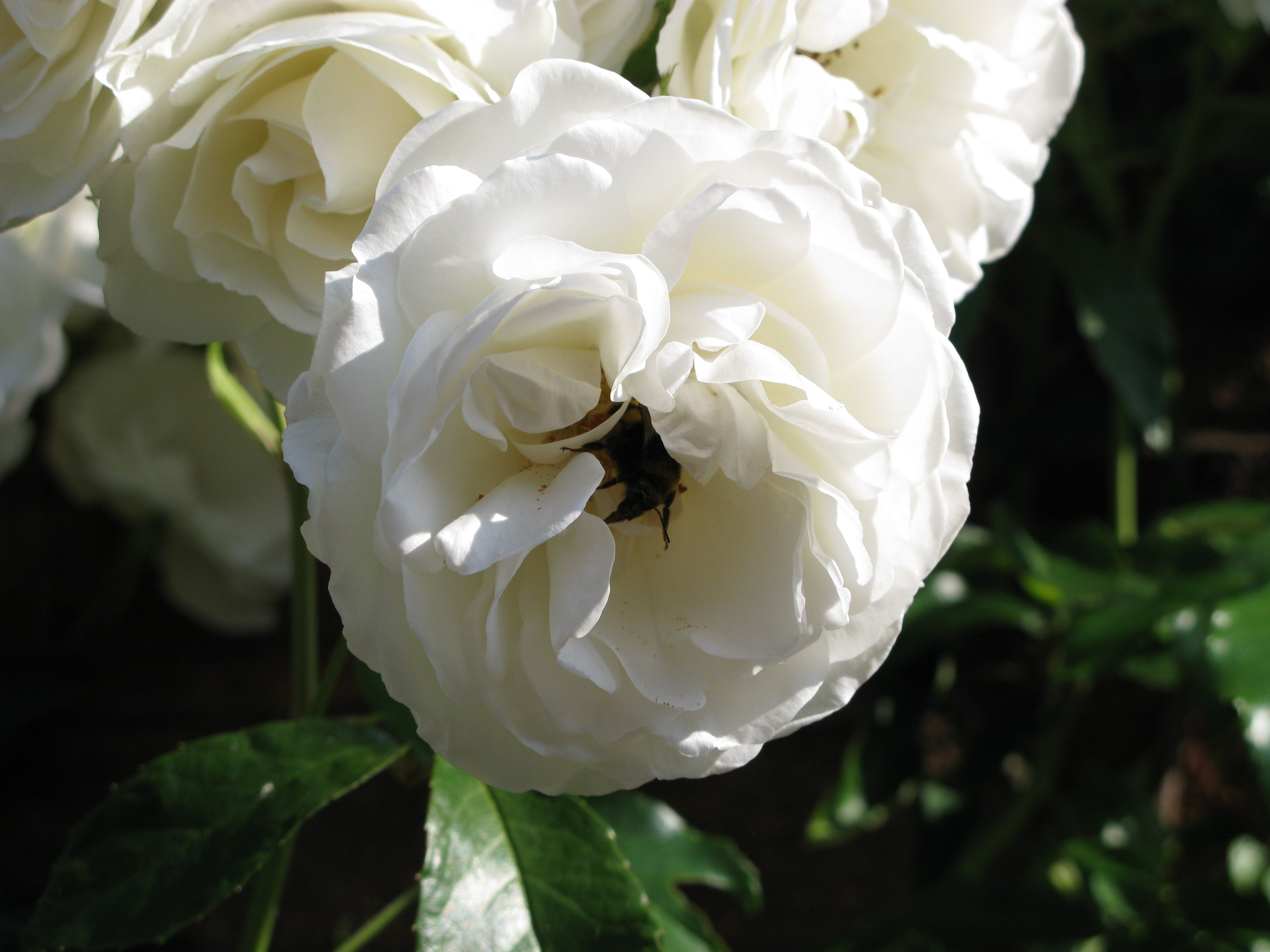 White Garden Rose Bush the bees love my garden, this is a white rose bush that climbs the