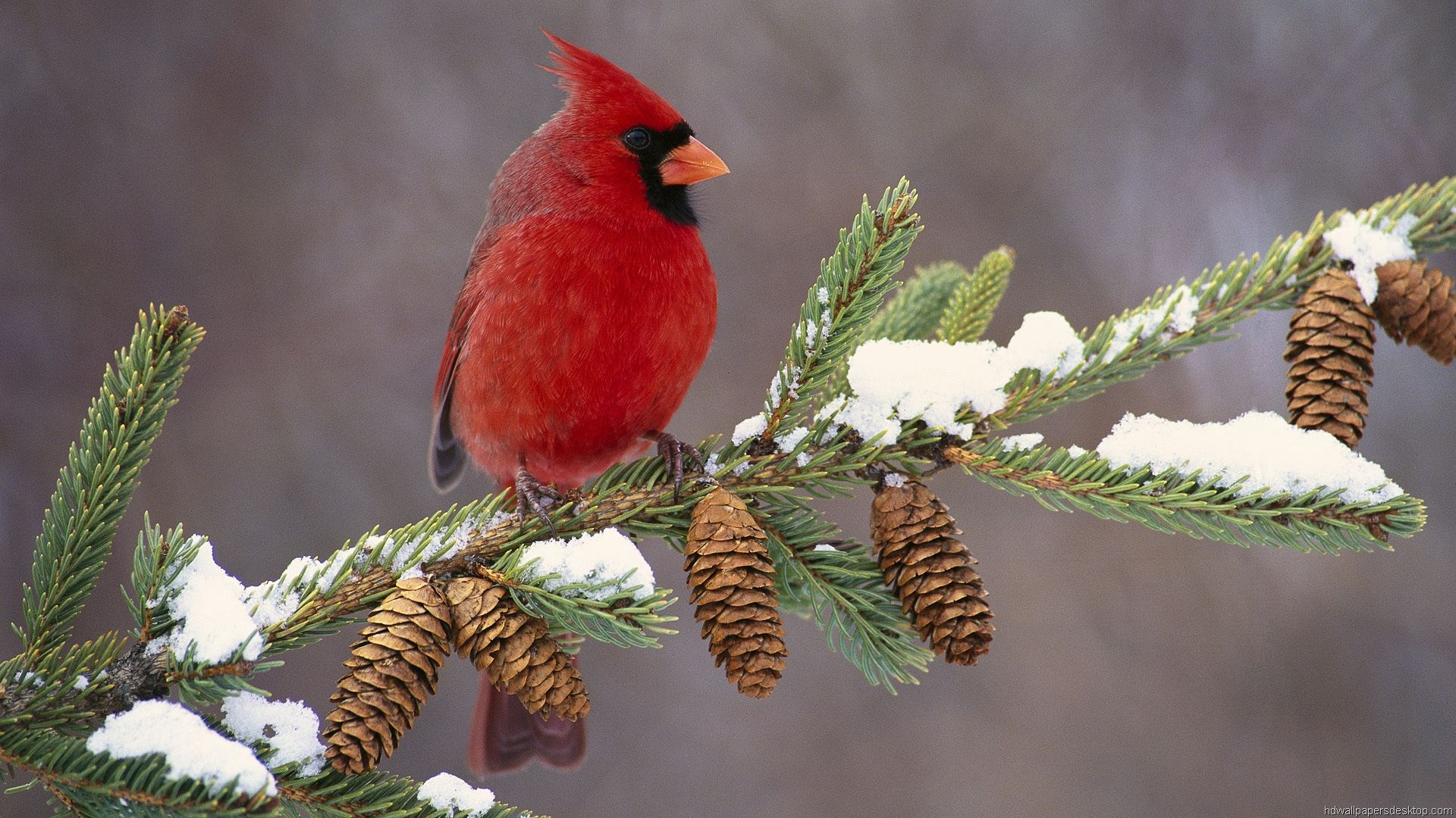 Winter Birds Wallpaper Hd Wallpapers 1080p Hd Widescreen Wallpaper 1920x1080 Cardinal Birds Beautiful Birds Birds