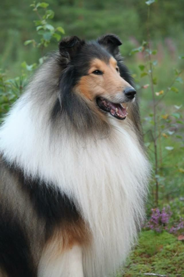 Perfection Collie Rough Collie Sheltie Dogs Collie