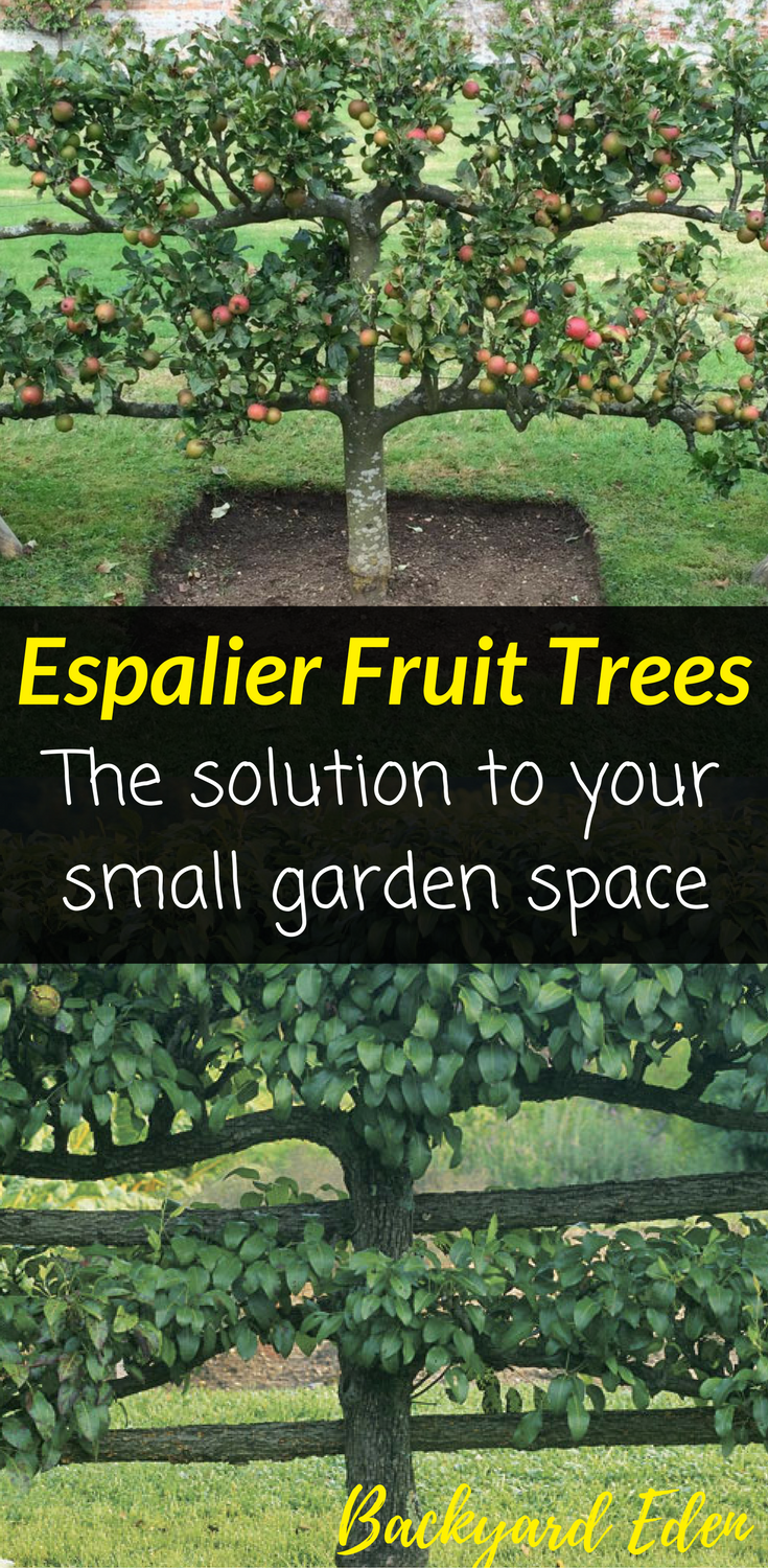 Espalier Fruit Trees The Solution To Your Small Garden Space Backyard Eden Fruit Trees Backyard Espalier Fruit Trees Fruit Tree Garden