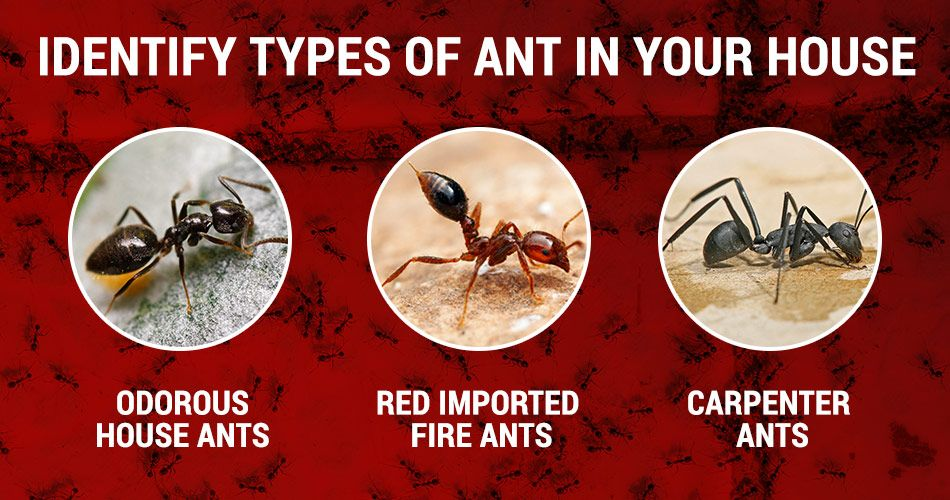 How to get rid of ants in your house and kitchen | Types ...