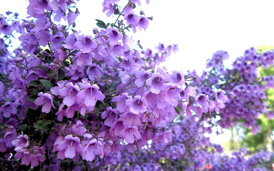 Australischer Minzestrauch (Pflanze) | Pflanze, blaue Blumen und ...