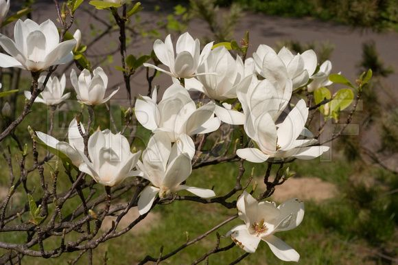 Magnolia white flowering tree identification google search trees magnolia white flowering tree identification google search mightylinksfo