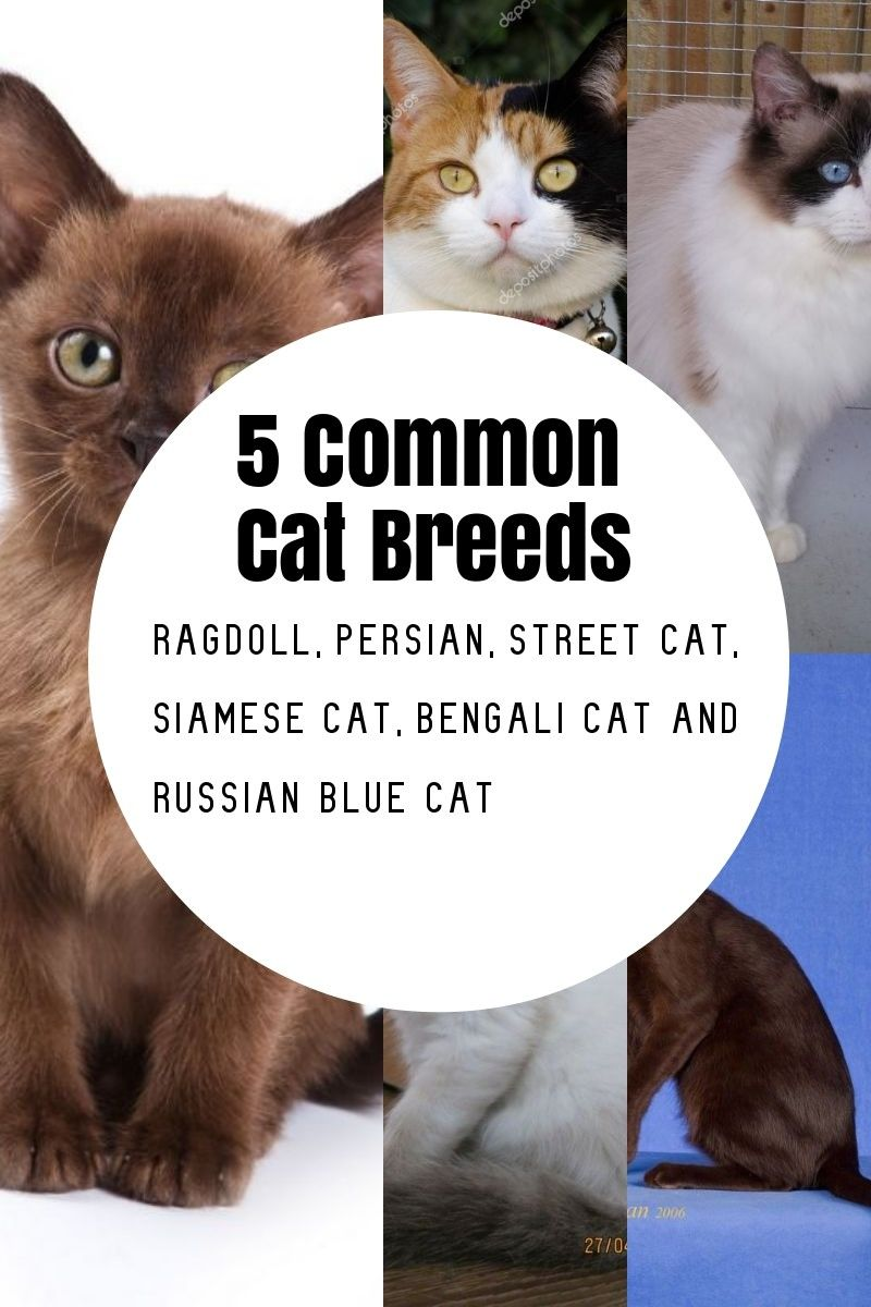 The Most Common Cat Breeds Popular Cat Breeds Cat Breeds Russian Blue Cat