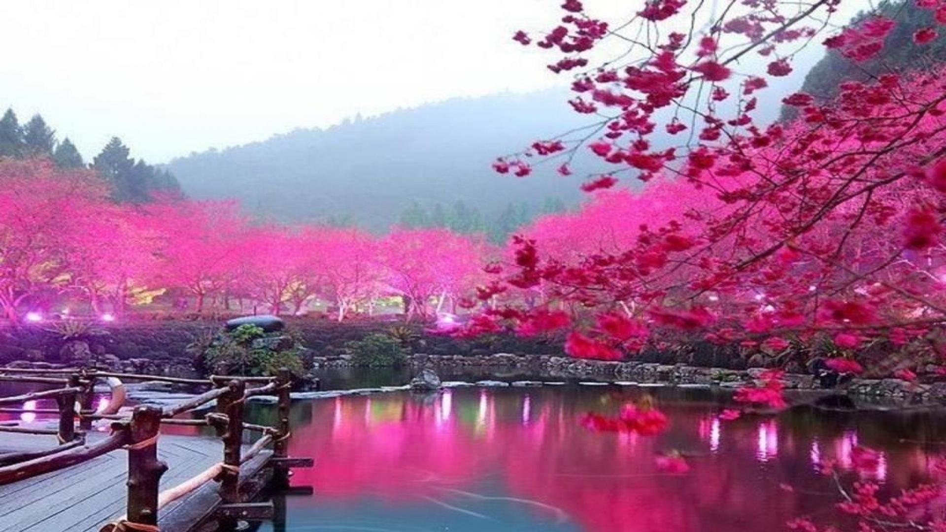 Japanese Cherry Blossom Garden Wallpaper Phone For Hd Wallpaper