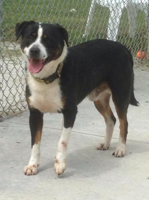 Rory - URGENT - Stark County Dog Warden in Canyon, Ohio - ADOPT OR FOSTER -  Adult Male Border Collie Mix - Available July 5, 2017