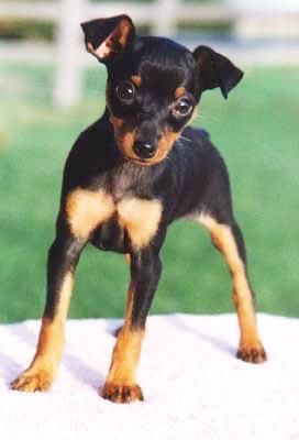 Min Pin Cute Animals Puppies Cute Dogs
