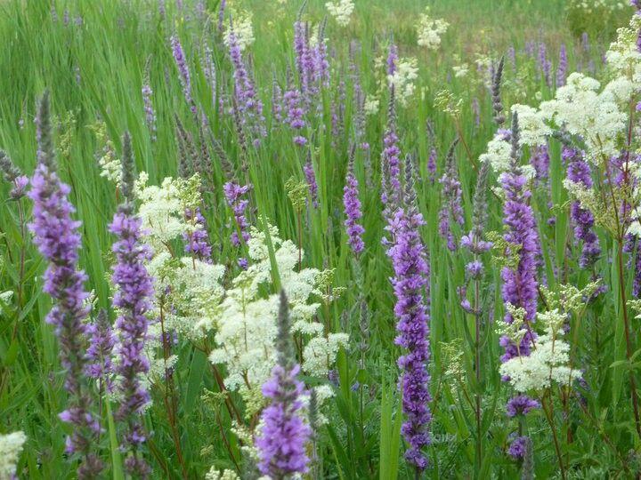 wild flowers at dawlish warren