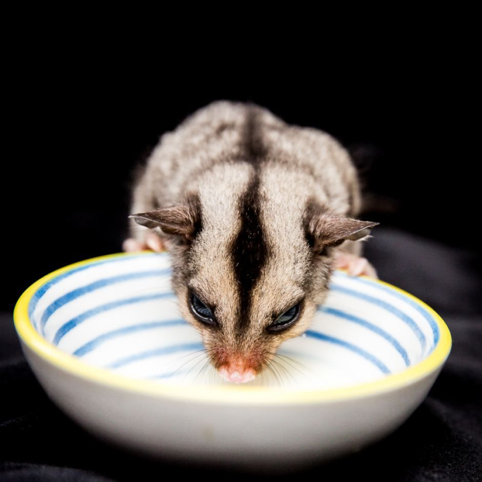 Rescued Sugar Glider Posted Fri At 7 40am This Young Squirrel Glider Is Being Fed By A Wildlife C Sugar Glider Australian Animals Squirrel Glider