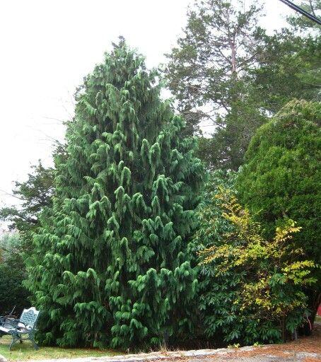 California Christmas Tree Cedrus Deodara: Chamaecyparis Nootkatensis 'Gracilis'