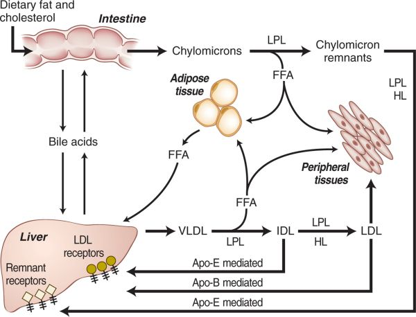 Lipid synthesis pathway CHAPTER 36 DISORDERS OF LIPID