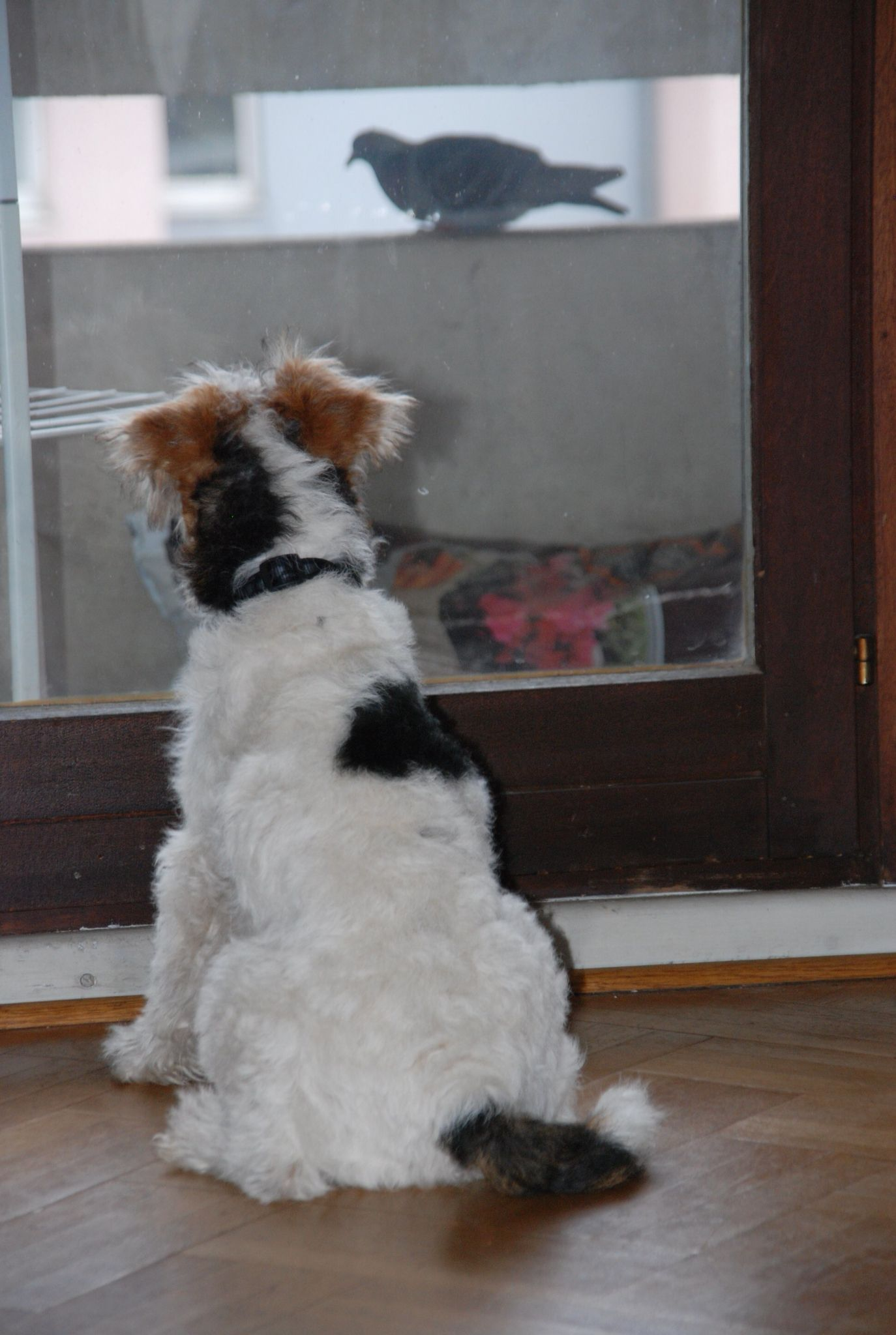 Il me nargue ce pigeon ! | Wired Hair Fox Terriers | Pinterest ...