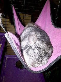 sleeping chinchilla in a hammock sleeping chinchilla in a hammock   to have and to hold   pinterest      rh   pinterest
